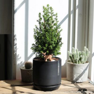 미니크리스마스트리식물 excellent point + 무광도자기화분(블랙)