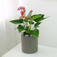 [테이블-공기정화식물] 안스리움 심플원형(M)