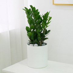 [테이블-공기정화식물] 금전수 심플원형(M)