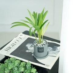 봄맞이 반려식물 아레카야자 실내공기정화식물 플랜테리어