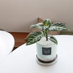 아펠란드라 반려식물 실내공기정화식물 플랜테리어