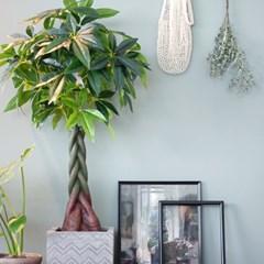 익숙한 친근함 귀여운 파키라나무