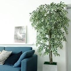 독특한 잎이 멋져 칼라시밀락스
