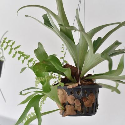 행잉플랜트 박쥐란 인테리어 공기정화식물 (특대형)