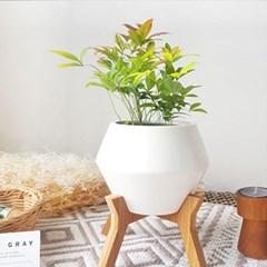 공기정화식물 남천