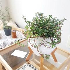 넝쿨식물 다육식물 타라