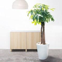 Forest/P3 대형공기정화식물 파키라 3그루 화분