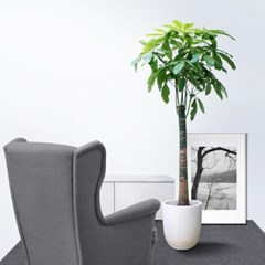 Forest/P 대형 공기정화식물 파키라