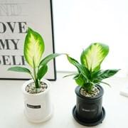 공기정화식물 마리안느