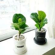 공기정화식물 떡갈고무나무