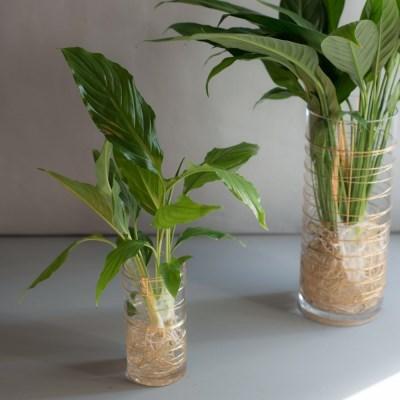 스파티필름 공기정화 식물 수경 인테리어 소품 (S)