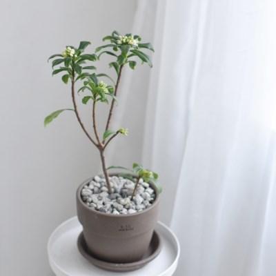 천리향 식물 수제 이태리 토분 인테리어 (중, 소)