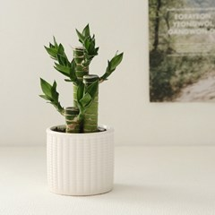 [plant] 행운을드려요 연화죽 식물화분set_(637393)