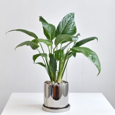 스파티필름 인테리어 화분 공기정화식물