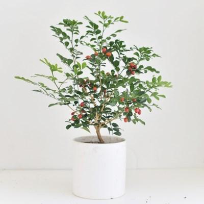 오렌지 자스민 공기정화 인테리어식물 화분