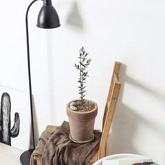 플라랜드 중형 올리브나무 테라코타토분 화분