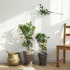 플라랜드 중형 유주나무 독일토분