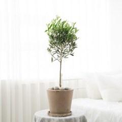 플라랜드 올리브나무 테라코타토분 인테리어화분