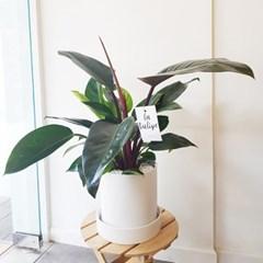 윤기나는 매력적인 콩고나무 중형 실내공기정화식물