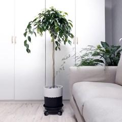 andante- 킹벤자민 고무나무 중대형
