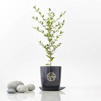 나만의 감성플랜츠 그린올리브나무[생화식물][전국택배]