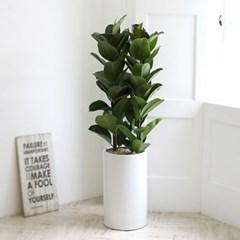 [공기정화식물] 인도고무나무 스페셜_심플화이트(대)