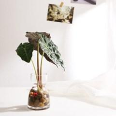 수경식물_거북알로카시아