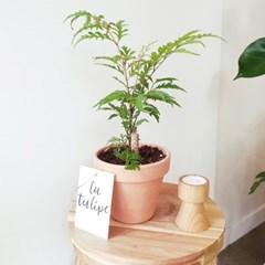 나무같은 공기정화식물 폴리시아스 이태리토분