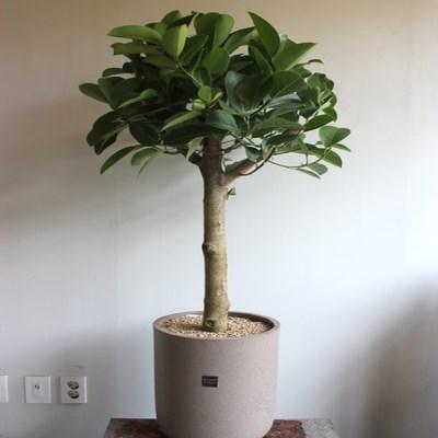 [브라더가든]고무나무/공기청정식물 무지뱅갈고무나무_(1360520)