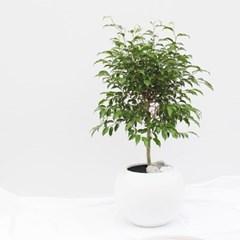 대형화분 벤자민 (개업화분 축하화분 벤자민나무)