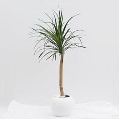 대형화분 드라코 (개업화분 축하화분 공기정화식물)