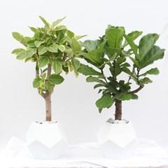 대형 떡갈/ 뱅갈고무나무 (개업화분 축하화분 떡갈고무나무)