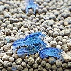 미니텍사누스 (블루)가재 1마리 - 암수랜덤_(953497)