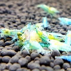 블루펄 새우 1마리 (0.8-1.2cm)_(953500)