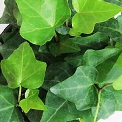 드림캔치아이비 - (수생 수중 수경재배식물)_(957897)