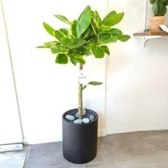 세련된 공기정화 뱅갈고무나무 무광블랙화분 (서울경기퀵배송)