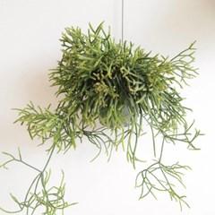 공중식물 립살리스 프라카룸