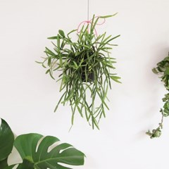 공기정화식물 립살리스