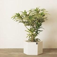 [개업/승진취임화분]고급스럽고 세련된 잎을 가진 송오_(1439463)