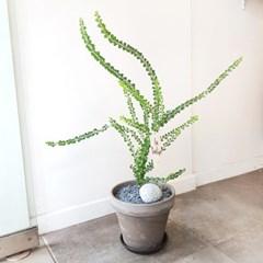 본적없는 유니크함 삼각잎 아카시아 중형토분
