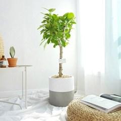 공기정화식물 뱅갈고무나무 테라코타화분 세트 중형