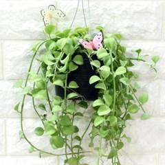공기정화식물-디시디아(대)