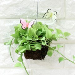 공기정화식물-디시디아(소)