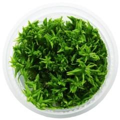 무균 조직 배양수초 - 로탈라 드워프 그린_(1047630)