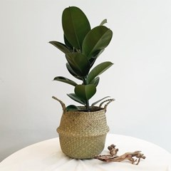 아마란스 공기정화 식물 소피아 고무나무 중형 바구니 세트