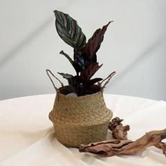 아마란스 공기정화 식물 오나타 바구니 세트