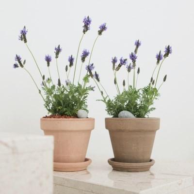 아마란스 공기정화 식물 라벤더 소형 이태리 토분 세트