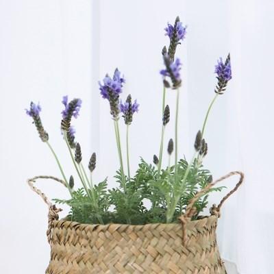 아마란스 공기정화 식물 라벤더 소형 바구니 세트