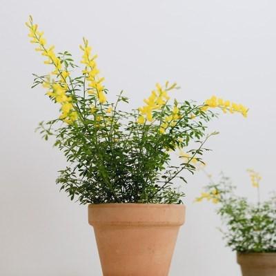 아마란스 공기정화 식물 애니시다 중형 이태리 토분 세트