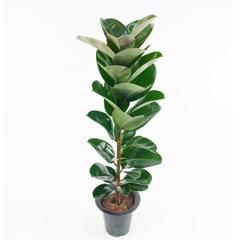 FF8302 고무나무(중)